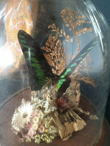 Old Domed Butterfly Display …beautiful collection & display piece