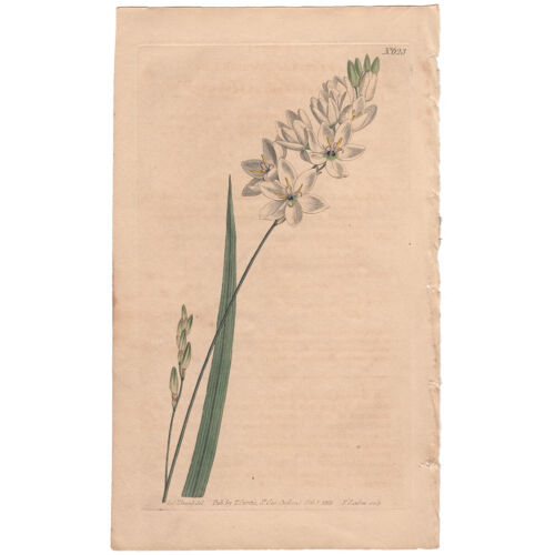Curtis antique 1st ed 1803 hand-colored engraving, Pl 623 Upright Ixia