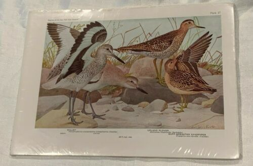 Louis Agassiz Fuertes Willet Upland Plover Bird Print Plate 37 NY State Museum