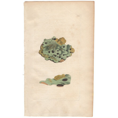 Sowerby English Botany antique 1st ed 1795 hand colored engraving 288 Lichen