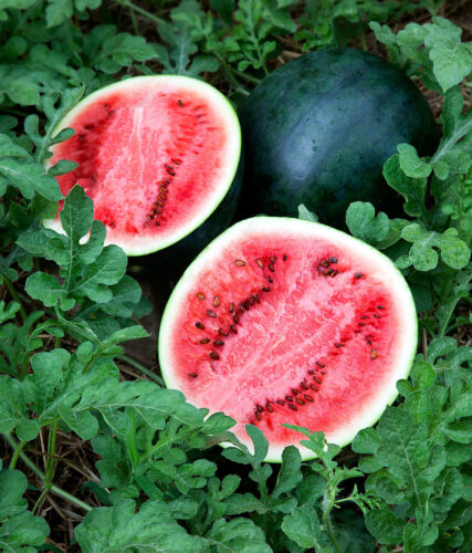 WATER MELON SUGAR BABY  40 FINEST SEEDS  **FREE UK P&P**