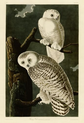 No.121 Snowy Owl Audubon Print Repro Havell Edition Double Elephant Folio