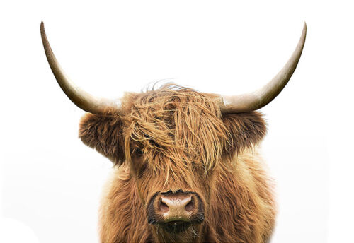 Highland Cow Long Horns Beautiful Natural Modern Country Canvas Print A3