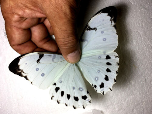 morpho luna male with lots of black,sample pic,not actual