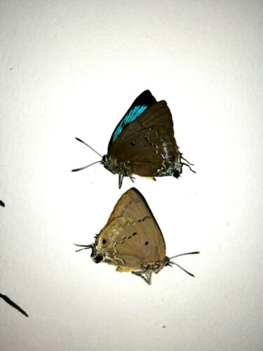 parrhasius polibetes 2 males in A1-,seldom offered,reference photo ,not actual