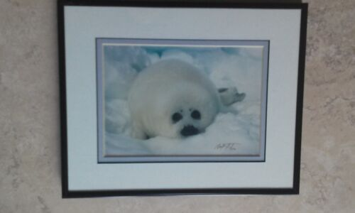 Harp Seal Pup - Marine Mammals Photograph By Mark Thomas Signed Matted Framed