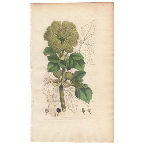 Sowerby English Botany antique 1st ed 1795 hand-colored engraving 230 Alexanders