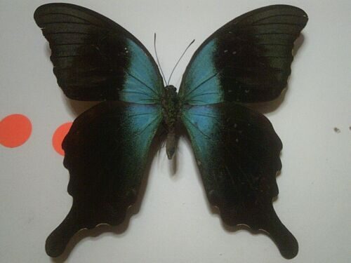Insect/Butterfly Set Spread B7323 Rare V/Large Blue Papilio peranthus adamantius