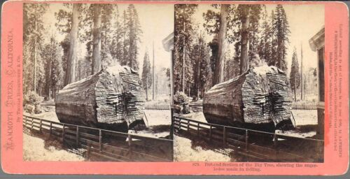 Houseworth Stereoview of Auger Cut Edge of Felled Big Tree 1870s