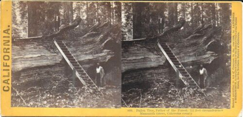 Houseworth Stereoview – Fallen Tree Father of the Forest Mammoth Grove CA 1870s