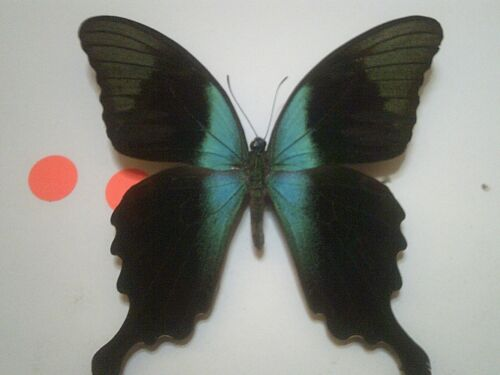 Insect/Butterfly Set Spread B7318 Rare V/Large Blue Papilio peranthus adamantius