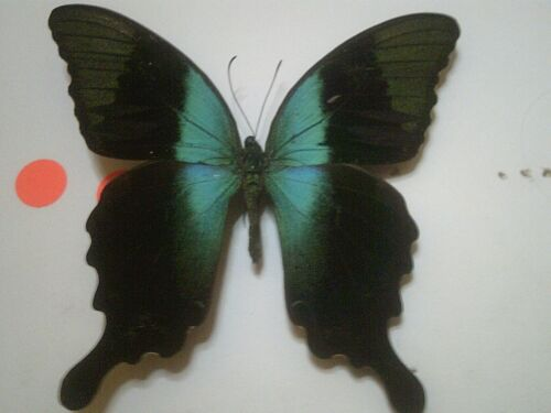 Insect/Butterfly Set Spread B7320 Rare V/Large Blue Papilio peranthus adamantius