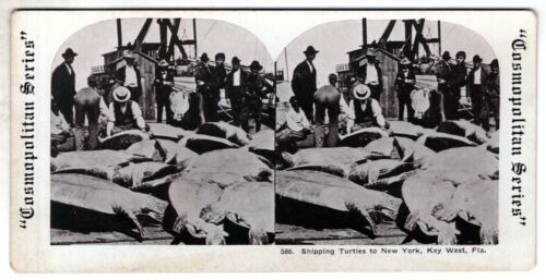 STEREOVIEW Shipping Turtles to NY from Key West FL Cosmopolitan Series #586