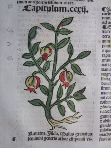 Incunable Leaf Hortus Sanitatis Pomegranate Colored Woodcut Venice - 1500