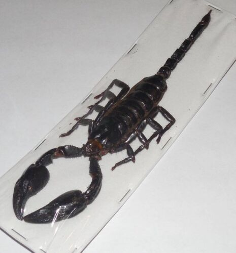 """LARGE OVER 6"""" HETEROMETRUS LAOTICUS GIANT SCORPION REAL INSECT TAXIDERMY"""