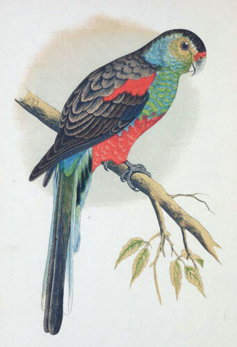 Paradise Parakeet from Parrots Giclee Canvas Print