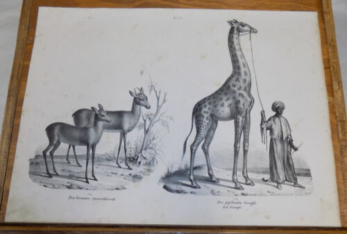 1834 Antique Print///GIRAFFE, SPITHER///2 Illustrations