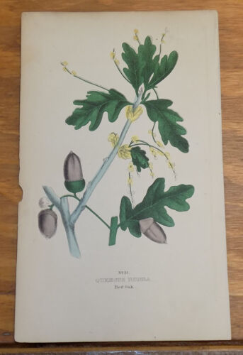 1845 Antique COLOR Floral Print///RED OAK, or QUERCUS RUBRA