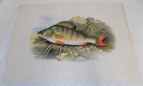 1879 Antique Fresh-Water Fish COLOR Print///PERCH by Houghton