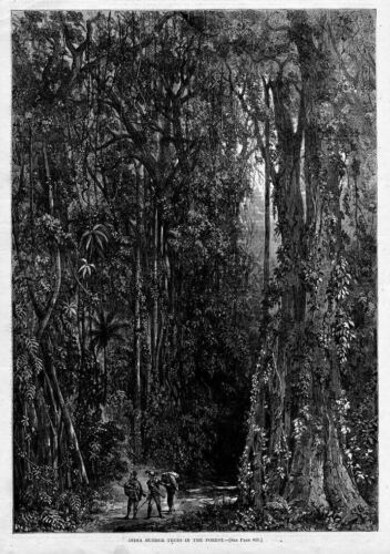 INDIA RUBBER TREES IN THE FOREST ANTIQUE RUBBER HISTORY
