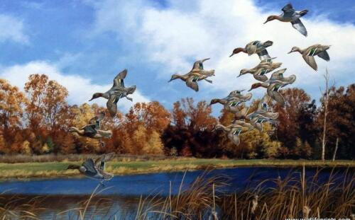 """David Maass Swift approach"""" Green Wing Teal-Signed and Numbered 25"""" x 16.5"""""""