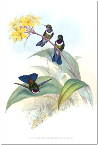 """GOULD Art Lithograph 1990 Vintage HUMMINGBIRD #120 /""""GREAT CRESTED COQUETTE/"""" WOW"""