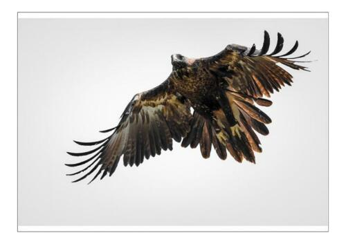 18914109 A1 (84x59cm) Poster of Wedge-tailed eagle in flight