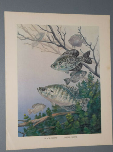 1970'S EDITION BOB HINES PRINT OF A BLACK CRAPPIE AND A WHITE CRAPPIE