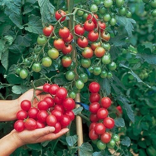 TOMATO CHERRY SWEET MILLION F1 22 FINEST SEEDS