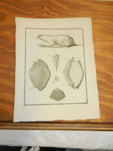 1760 Antique Print///PARTS OF A SCALY ANTEATER