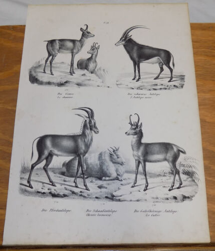1834 Antique Print///ANTELOPE, WOOLY GOAT///4 Illustrations