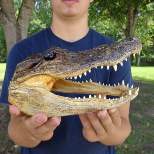 9 inch Alligator head from a 6 foot gator real taxidermy reptile (S)