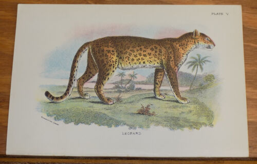 1890s Antique COLOR Animal Print///LEOPARD