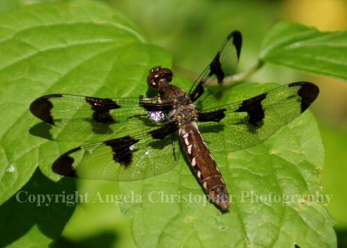 Original ACEO 2.5x3.5 IN photo art print DRAGONFLY - BLACK & CLEAR WINGS leaf