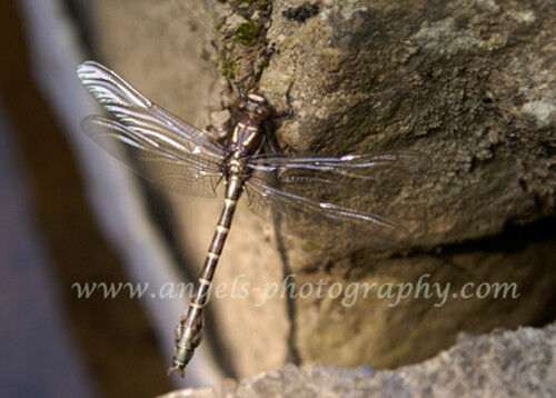 Original ACEO 2.5 x 3.5 in. photo art print BROWN DRAGONFLY Clear Wings on Rock