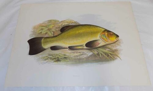 1879 Antique Fresh-Water Fish COLOR Print///TENCH by Houghton