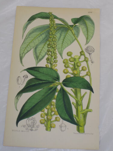 1878 Antique COLOR Floral Print///OREOPANAX THUBAUTII