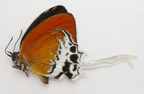 EOOXYLIDES THARIS THARISIDES MALE FROM KALIMANTAN, BORNEO