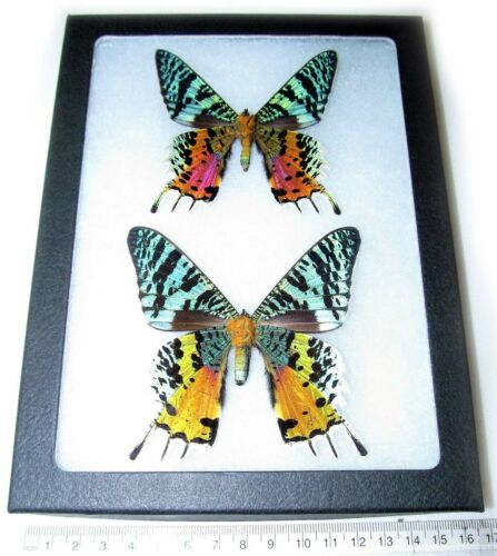 REAL MADAGASCAR SUNSET MOTH CHRYSIRIDIA RHIPHEUS PAIR FRAMED BUTTERFLY INSECT