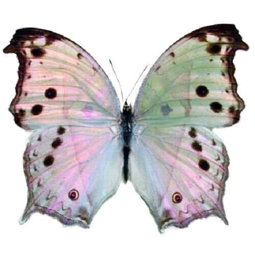 ONE REAL BUTTERFLY SALAMIS PARHASSUS AFRICA UNMOUNTED PAPERED WINGS CLOSED