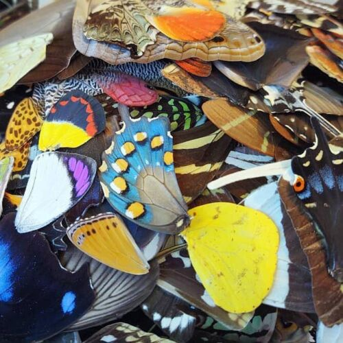 50 PIECES ASSORTED REAL BUTTERFLY MOTH WINGS WHOLESALE LOT MIX