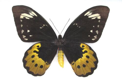 ONE REAL ORNITHOPTERA GOLIATH SUPREMUS FEMALE BIRDWING UNMOUNTED 8.5IN WINGSPAN