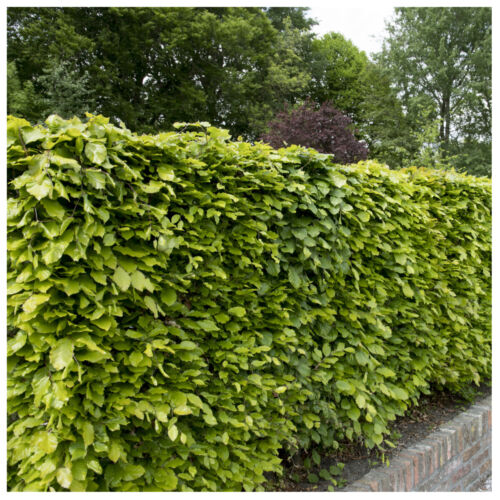 50 Green Beech Hedging Plants 2 Year Old, 1-2ft Grade 1  Hedge Trees 40-60cm