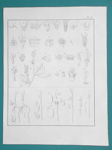 BOTANY Flowers Classification Number of Stamens Germination - 1828 Antique Print