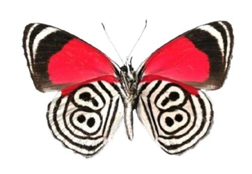 ONE REAL BUTTERFLY RED WHITE DIEATHRIA CLYMENA 88 UNMOUNTED WINGS CLOSED