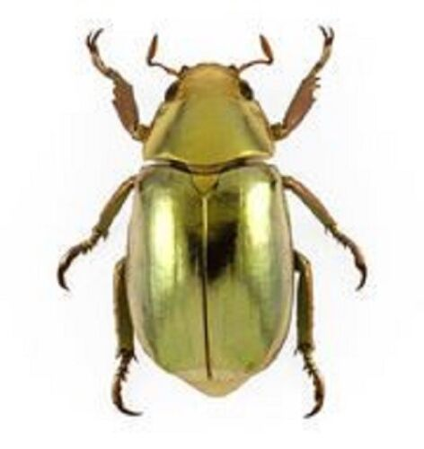 ONE REAL GOLD SCARAB BEETLE CHRYSINA RESPLENDENS A- CRAFT GRADE UNMOUNTED PINNED