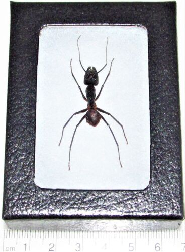 REAL FRAMED HUGE GIANT BULLET ANT CAMPONOTUS GIGAS