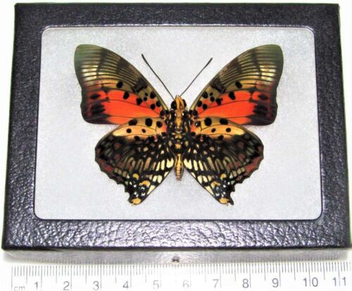 REAL FRAMED BUTTERFLY PINK RED CHARAXES ZINGHA VERSO AFRICA