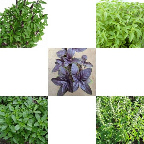 Basil Seed - Choose seeds from:-Sweet,Thai,Holy,Red, Lemon,>Italian,Thai cooking