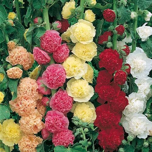 HOLLYHOCK CHATERS DOUBLE MIXED 260 SEEDS PERENNIAL FLOWER